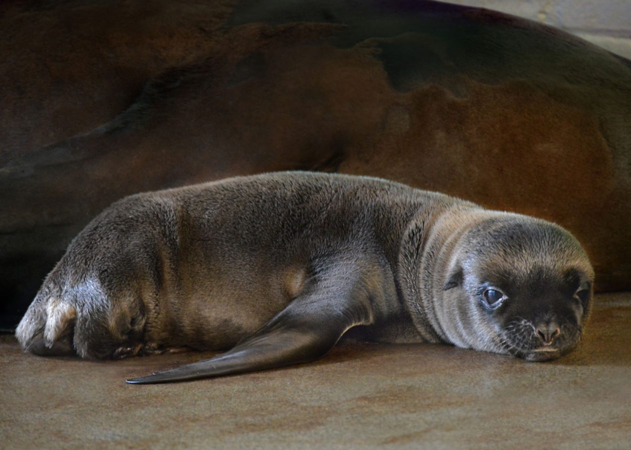 ron the sea lion pup