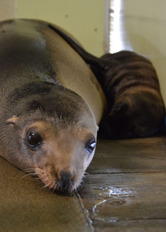 mom and baby sea lion resting