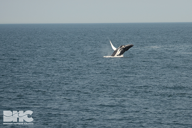humpback breaching in distance