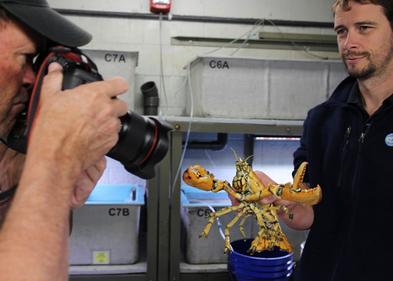 aquarist bill murphy holds yellow lobster