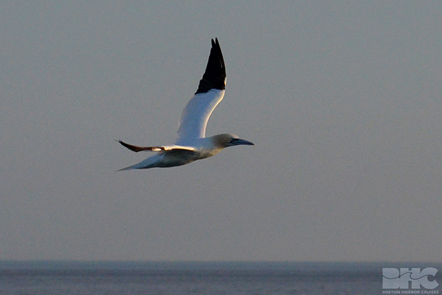 a gannet flies by