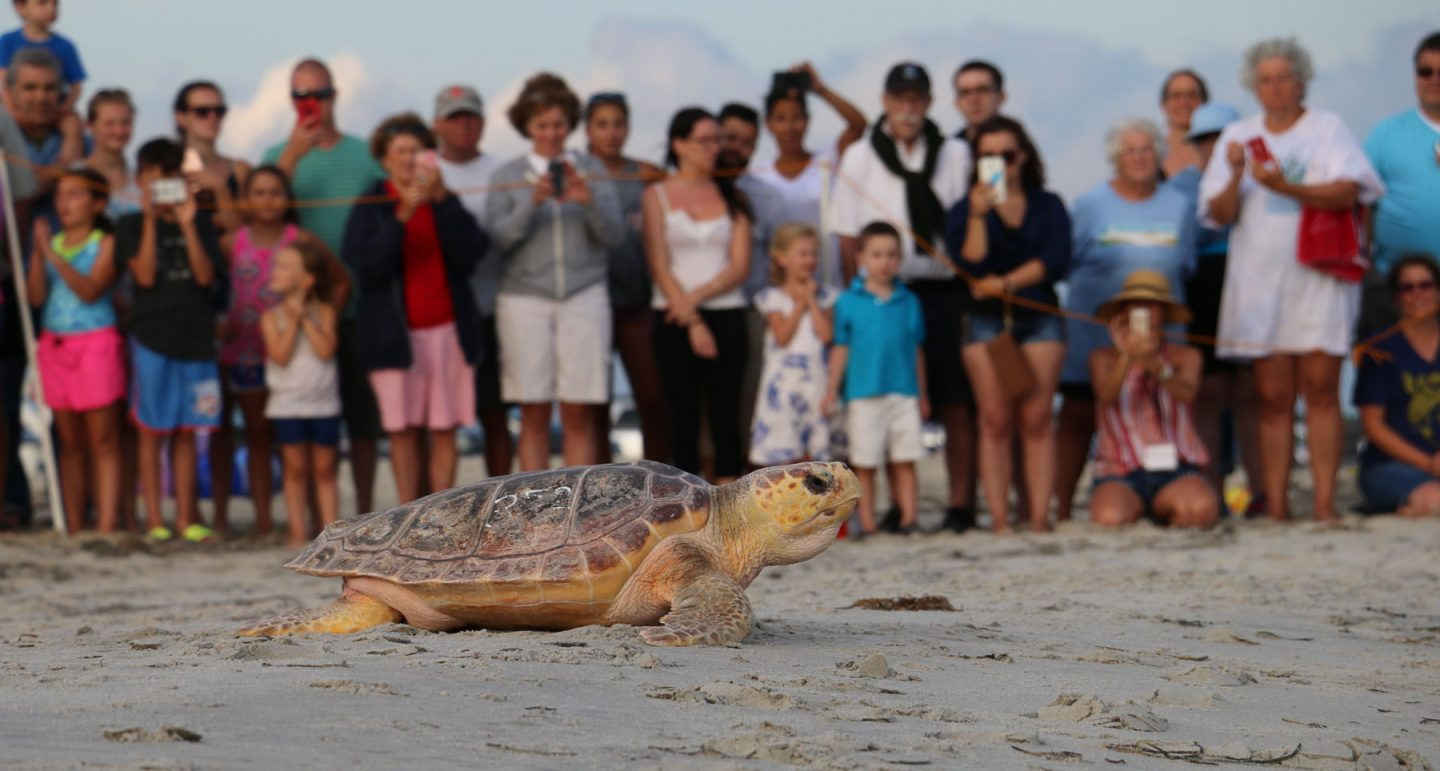 sea turtle scoots down the beach past onlookers