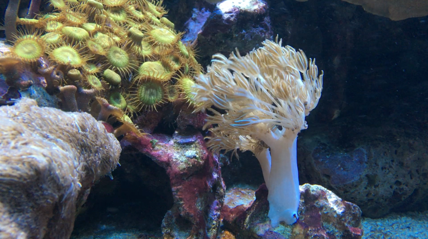 xenia living coral