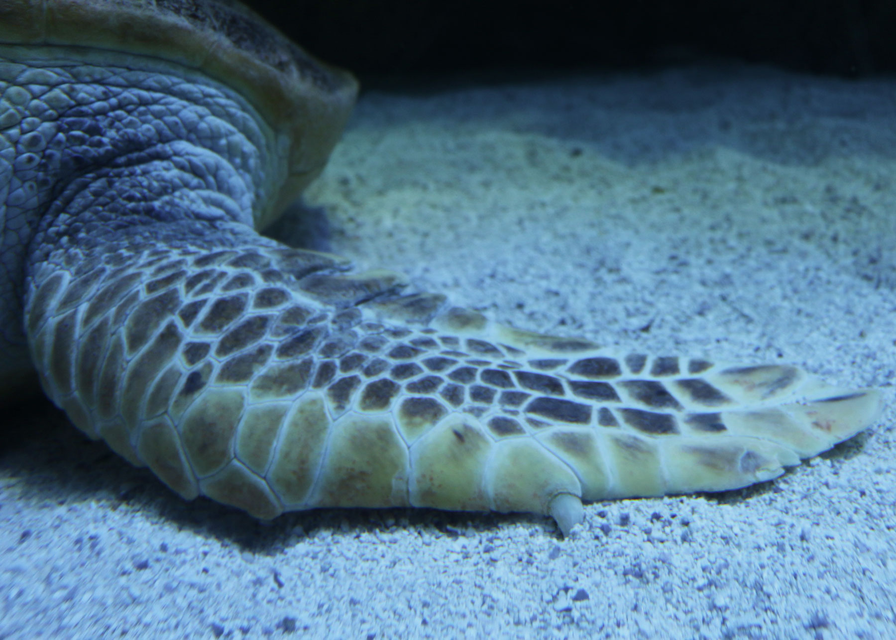 Why do    sea    turtles have claws   New England Aquarium