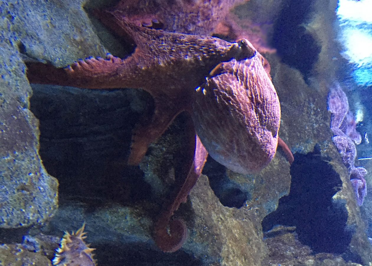 freya the giant Pacific octopus