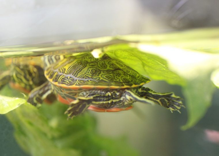 Northern redbellied cooter