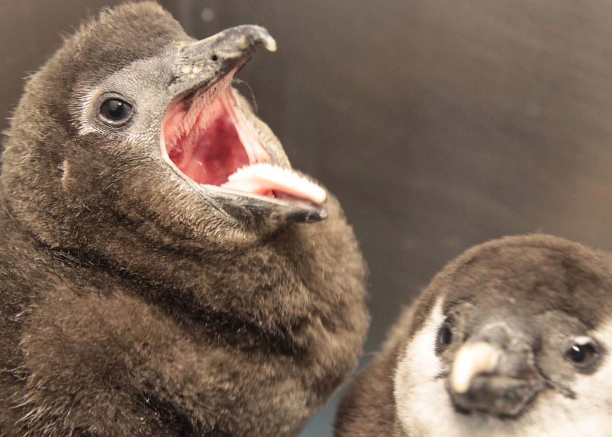 penguin chick with mouth open