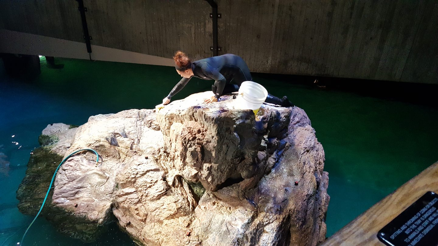 An Aquarium staff member cleans one of the penguin rocks during the VIP Sunday Morning event in January 2018.