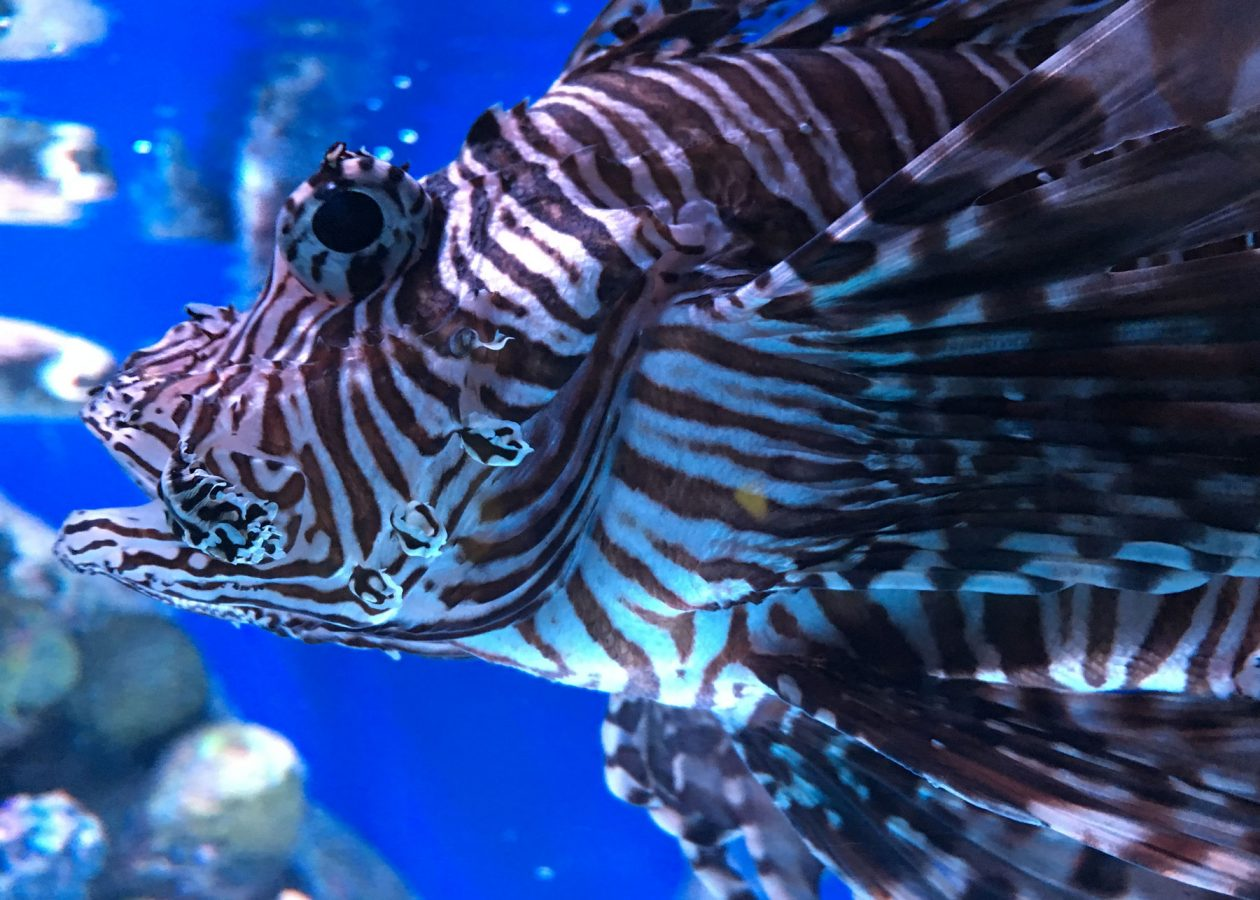 lionfish in Aquarium exhibit