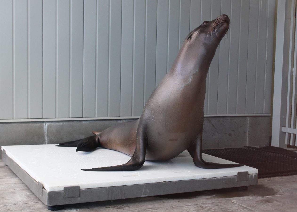 sea lion on scale