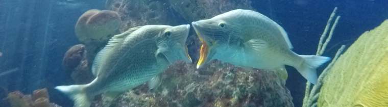 Open-mouth display between two grunts