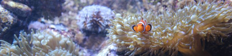 anemone and clownfish in living coral exhibit