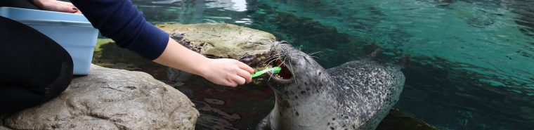 harbor seal getting tooth brushing