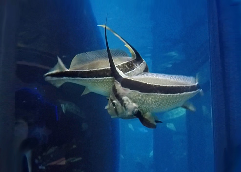 jackknifefish in the Giant Ocean Tank