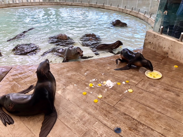 seals and sea lions playing with enrichment toys