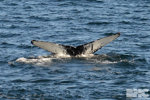 humpback whale Snare