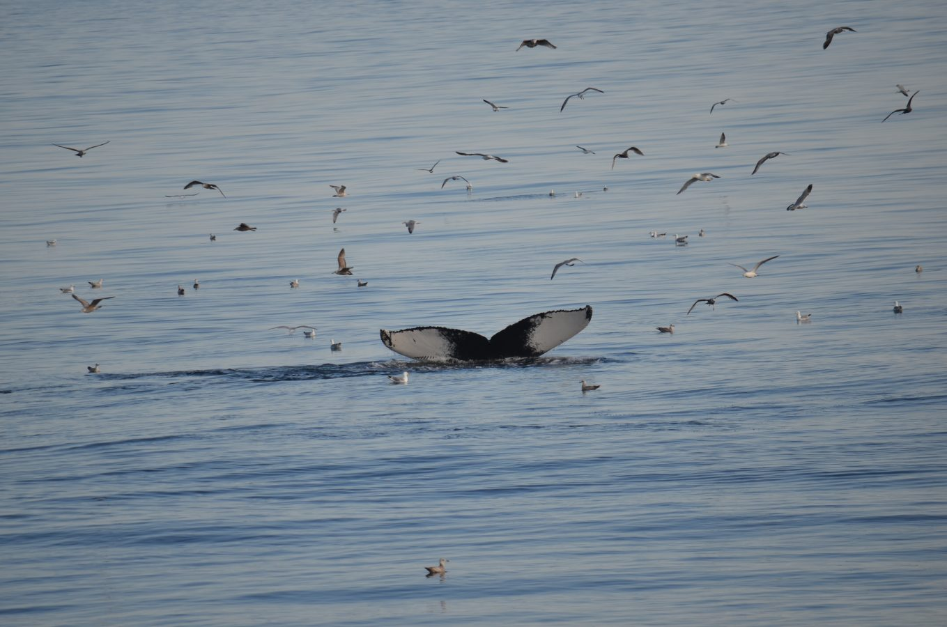 whale tail surrounded by birds