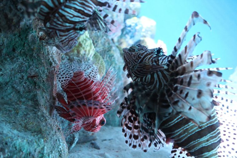 mombasa lion fish with common lionfish