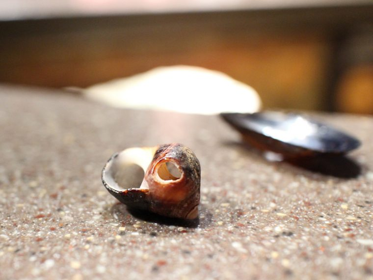 periwinkle shell with hole from a moon snail