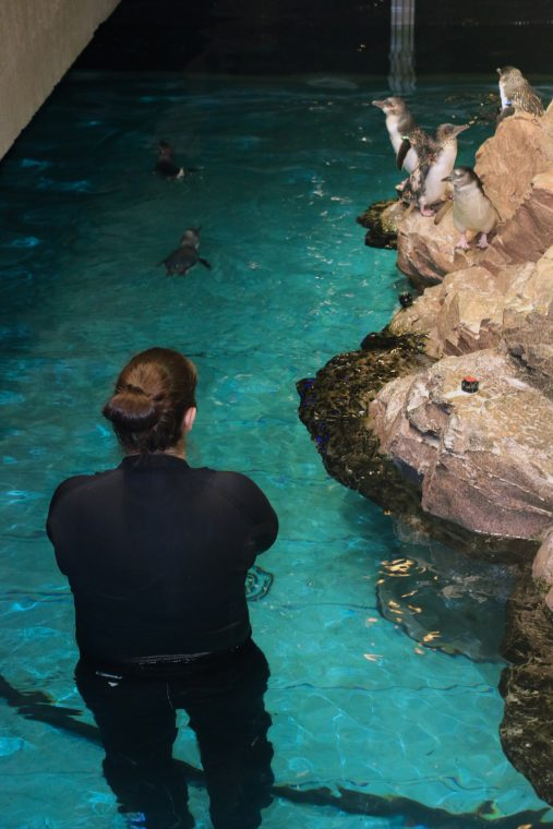 biologist in water looking at little blue penguins