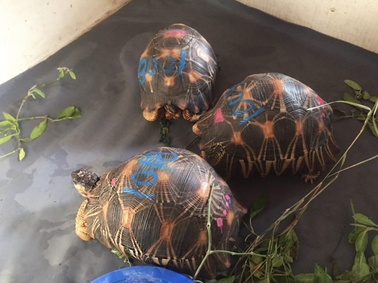 radiated tortoises in pen