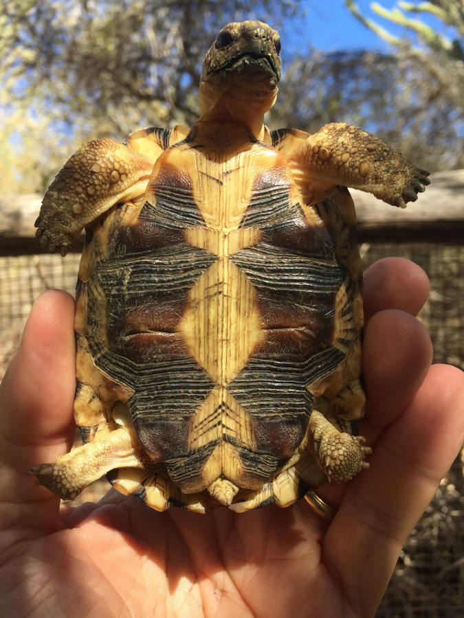 plastron of radiated tortoise