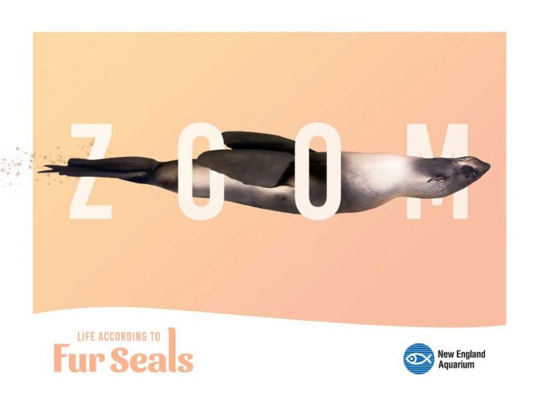 Life According to Fur Seals--Zoom