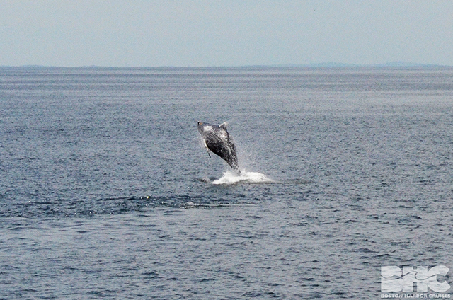 humpback calf breaching