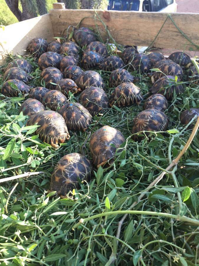 radiated tortoises packed to ship