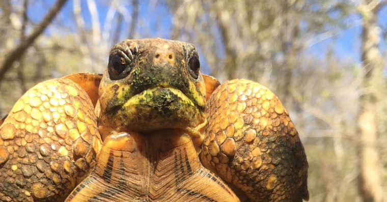 radiated tortoise with green mouth from snacking