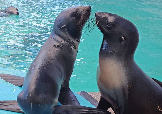 Two northern fur seals