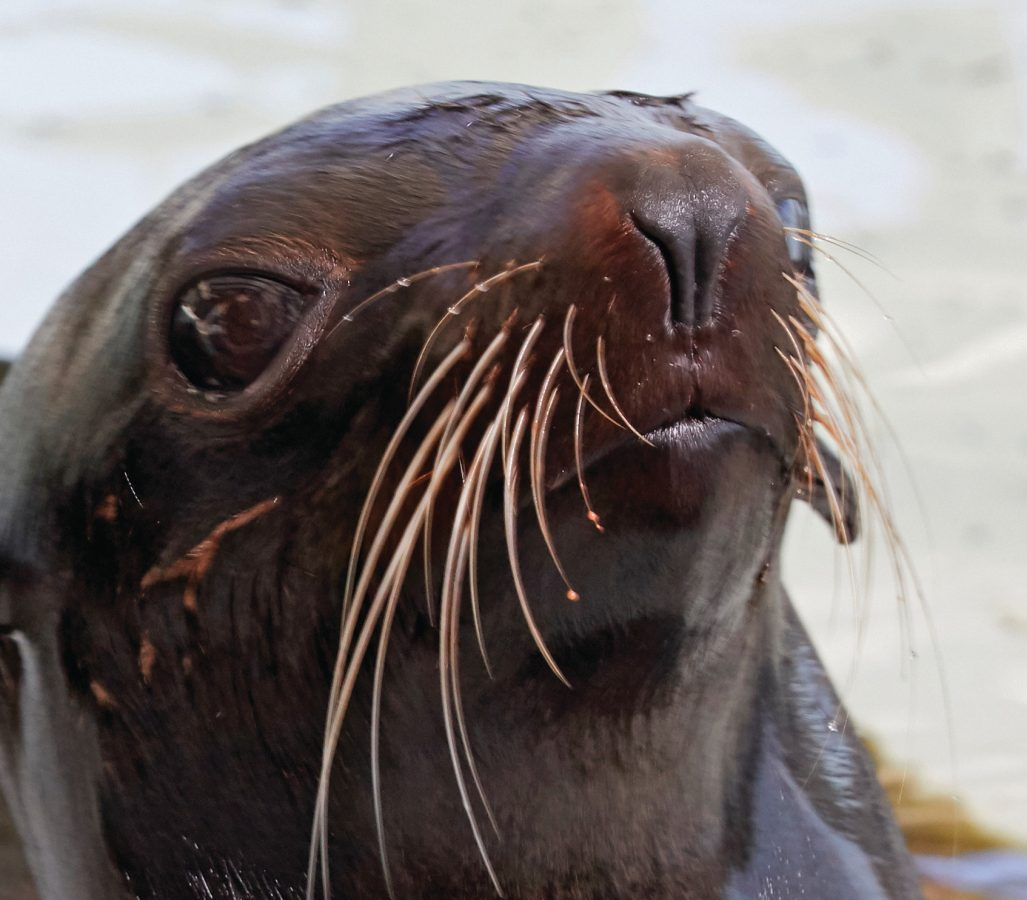 northern fur seal whiskers