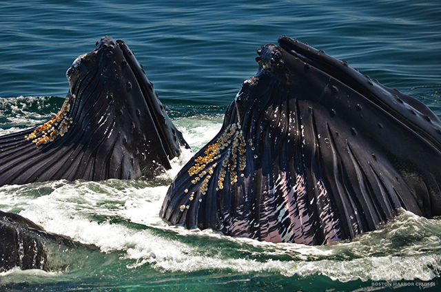 humpbacks with full mouths
