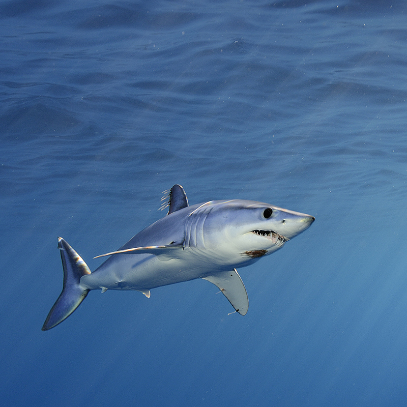 ©Brian Skerry | A shortfin mako shark cruises just below the surface in the offshore waters of southern California
