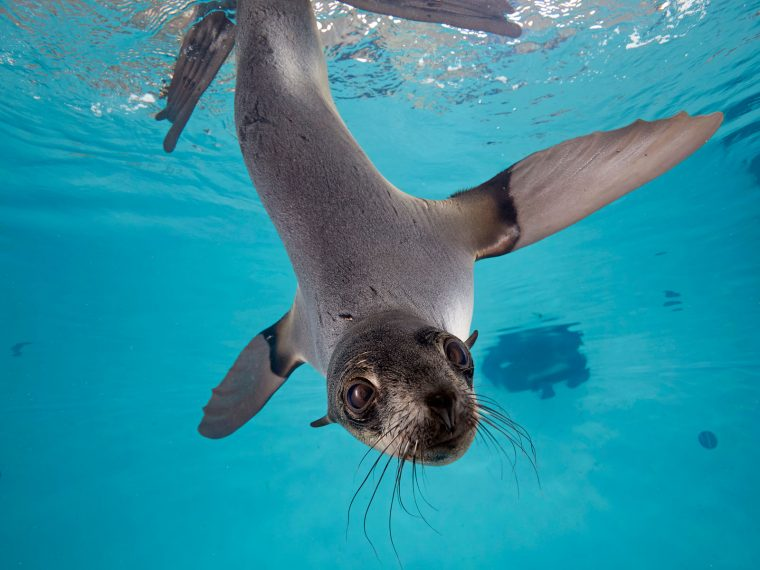 fur seal underwater