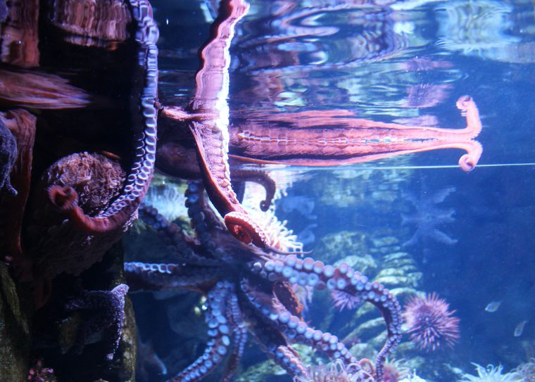 two octopuses in exhibit