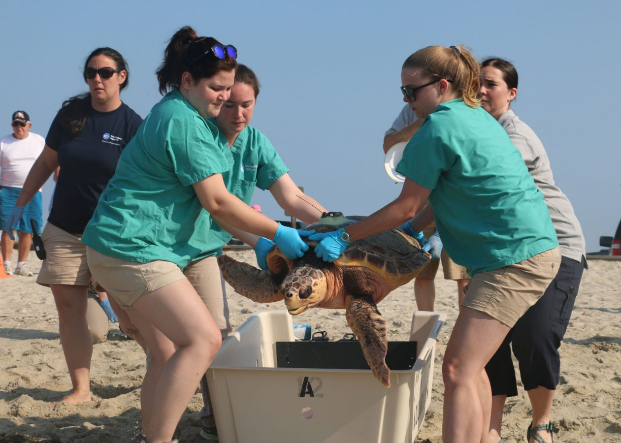 rescuers heft sea turtle out of box