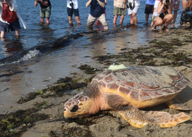 people watch released sea turtle