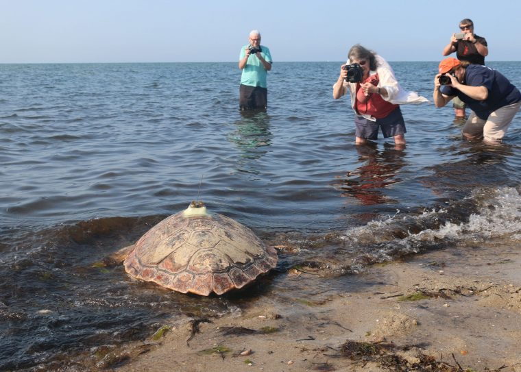 rescued sea turtle entering water