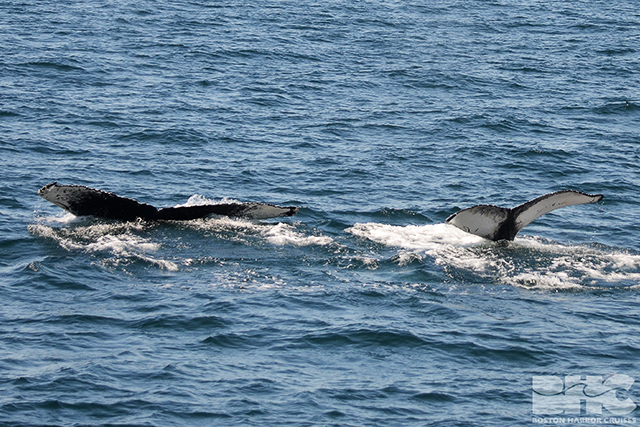 humpback mom and calf