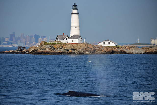 whales feeding near Boston Harbor