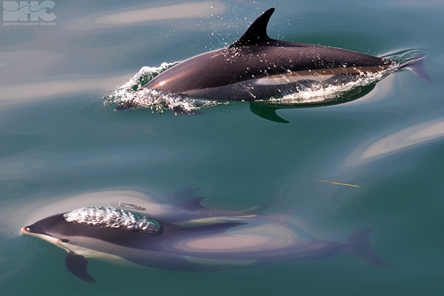 white-sided dolphin mother and calf