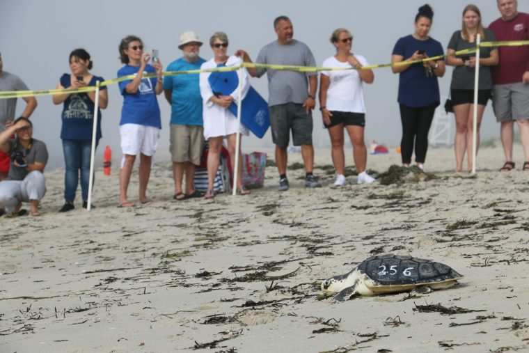 visitors behind yellow tape watch turtle on sand