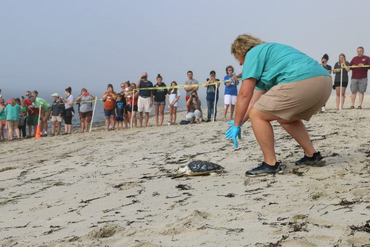 volunteer placing turtle on sand