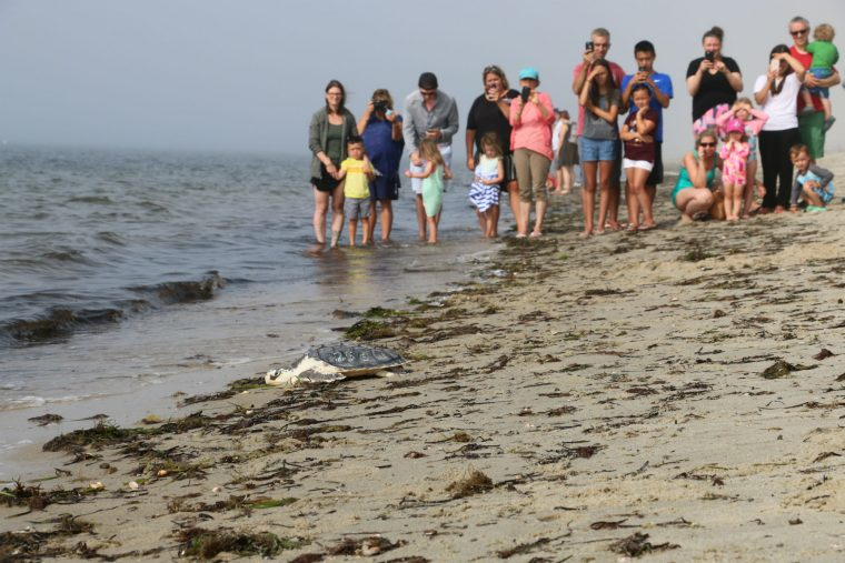 visitors watch turtle go in water