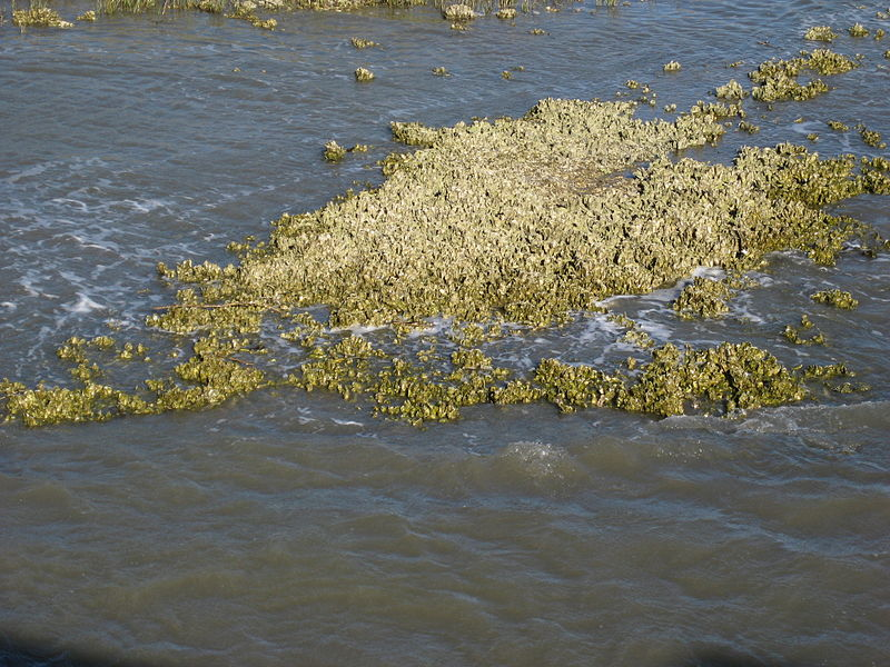 oyster reef in South Carolina