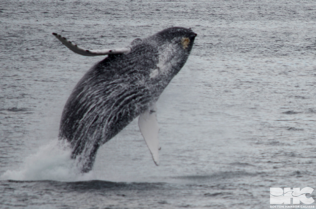 Owl the humpback breaching