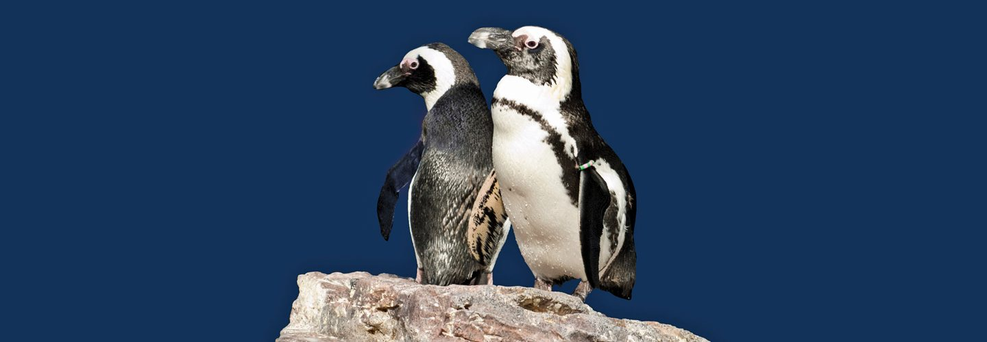 two penguins stand on a rock