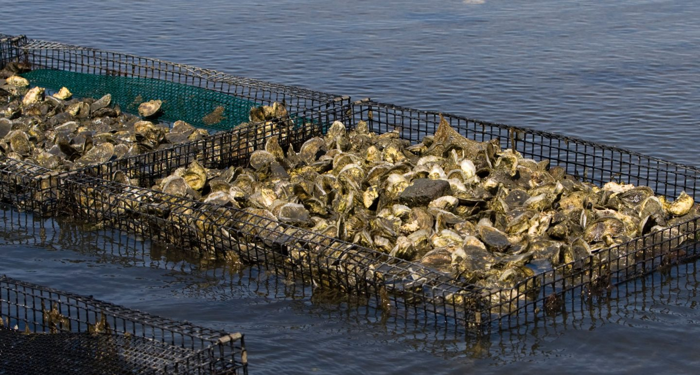 crate of farmed oyster in water