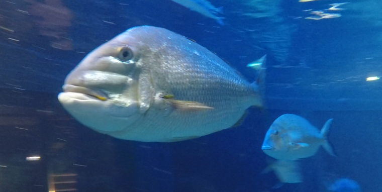 Porgy in Giant Ocean Tank